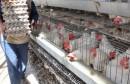 poulet613210