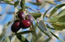 anthrachnose-olivier2-1024x630